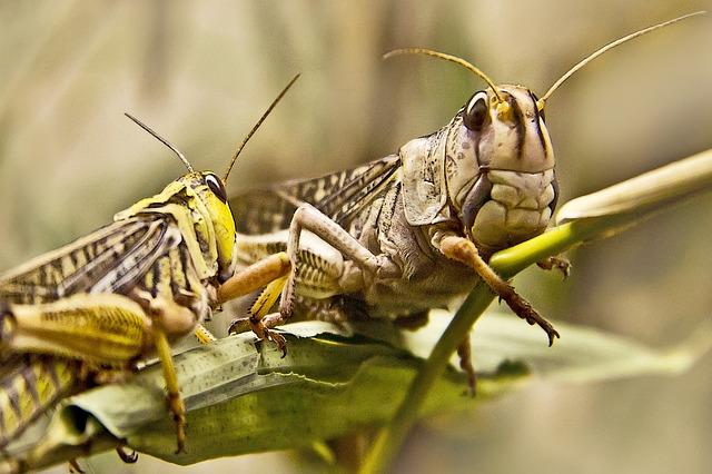 grasshopper-556362_640